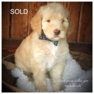 Puppies For Adoption Goldendoodle Puppies For Adoption
