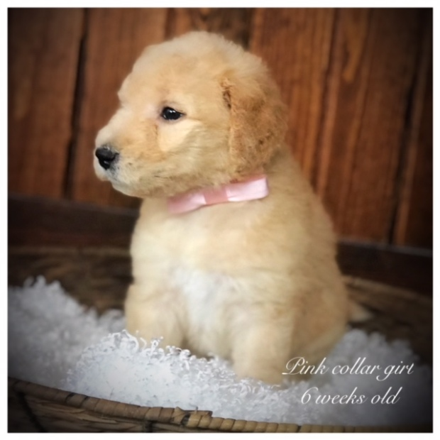 Goldendoodle Puppies For Adoption